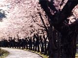 金沢・石川のお花見スポット2017