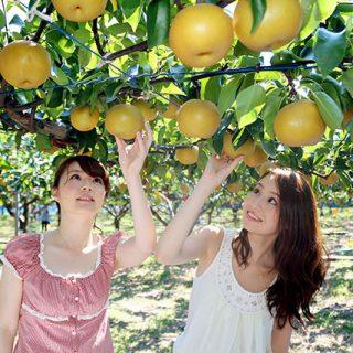 『梨園よねくら』の梨狩りで完熟梨が食べ放題