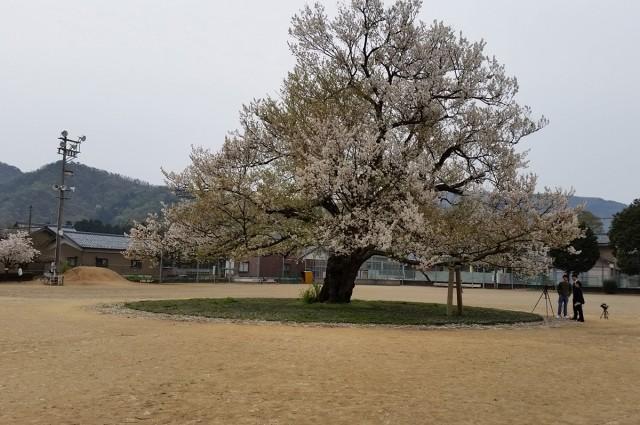 味真野小学校の一本桜