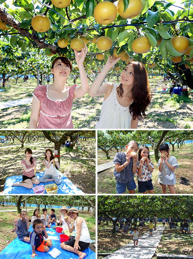 瑞々しい完熟梨が食べ放題!  今年も『梨園よねくら』の梨狩りが好評開園中。