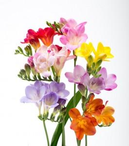 エアリーフローラは「エアリーピーチ」「エアリーレッド」「エアリーピンク」「エアリーパープル」「エアリーオレンジ」「エアリーローズ」「エアリーイエロー」の7色。